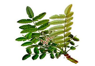 Boswellia is an effective herb for the treatment of eczema and psoriasis.