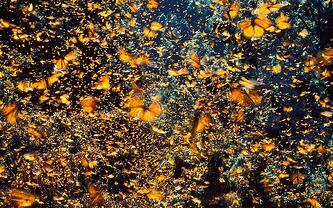 Migration of the Monarch butterflies.  Second Nature Care cares about Good Gut and monarch butterflies.