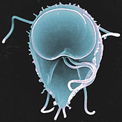 Giardia-This Photo by Unknown Author is licensed under CC BY-ND