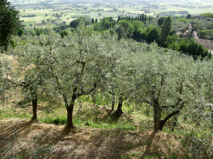 Olive trees - This Photo by Unknown Author is licensed under CC BY-NC-ND