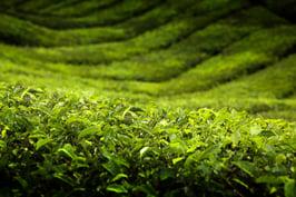 Cameron highlands tea plantation in Malaysia