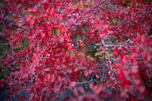 bigstock-Barberry-Bush-Colorful-Floral-184954888
