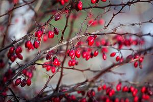 bigstock-Berries-Of-Barberry-Barberry--223199356