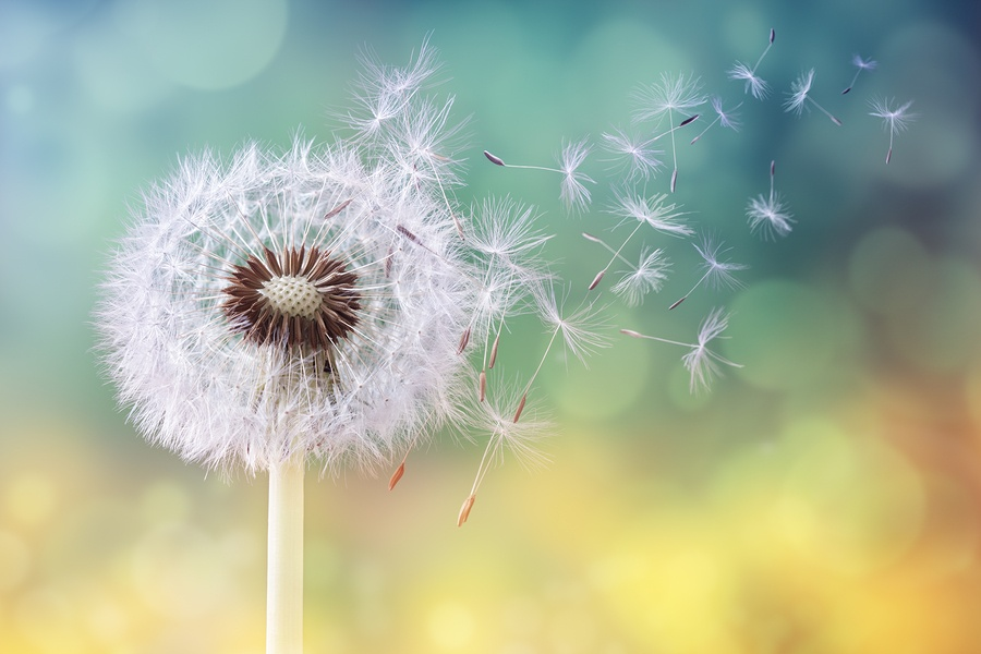 bigstock-Dandelion-seeds-in-the-sunligh-180761887(1)