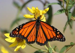 bigstock-Monarch-Butterfly-On-Yellow-Fl-2165940.jpg