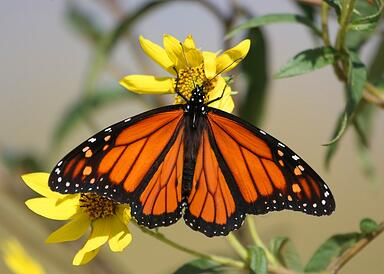 bigstock-Monarch-Butterfly-On-Yellow-Fl-2165940.jpg