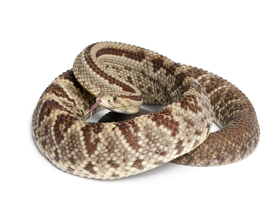 bigstock-South-American-rattlesnake--C-30939095