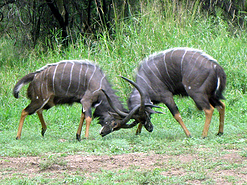 fighting antelope - This Photo by Unknown Author is licensed under CC BY